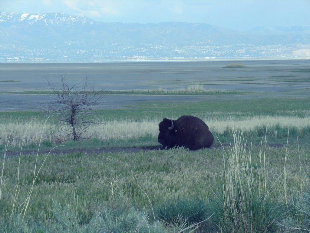 bison at antelope island state park